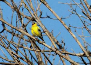 Goldfinch Portage IMG_4369_1