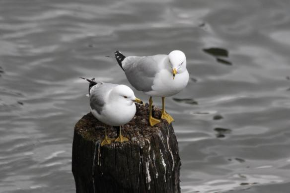Gulls on the Chicago River