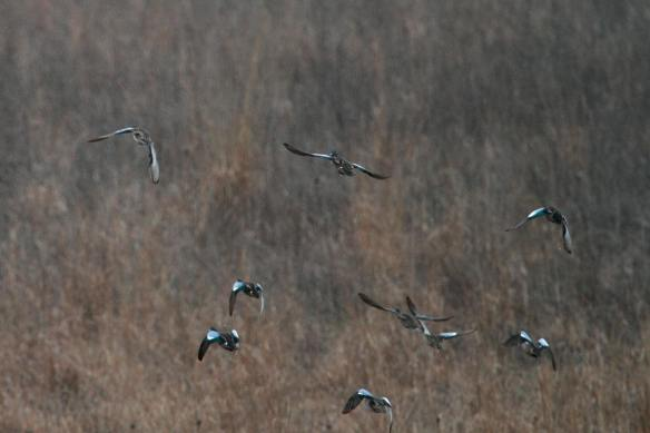 Blue-Winged Teal IMG_7004_1