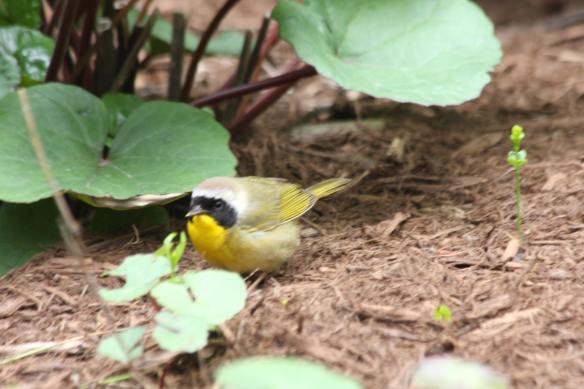 Common Yellowthroat IMG_6215_1