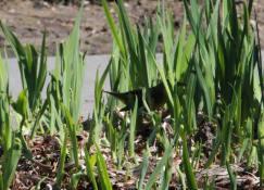 Kentucky Warbler IMG_7586_1