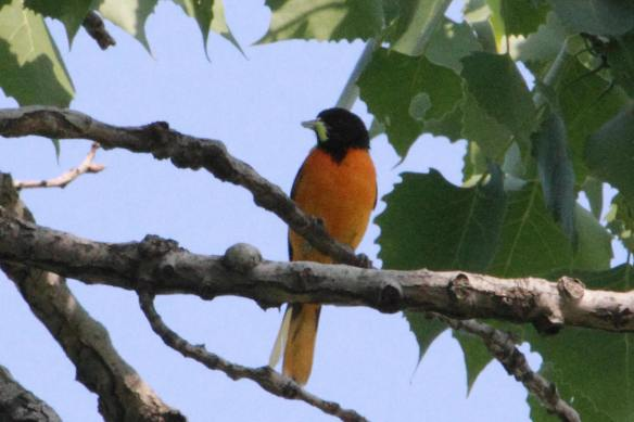Baltimore Oriole with worm