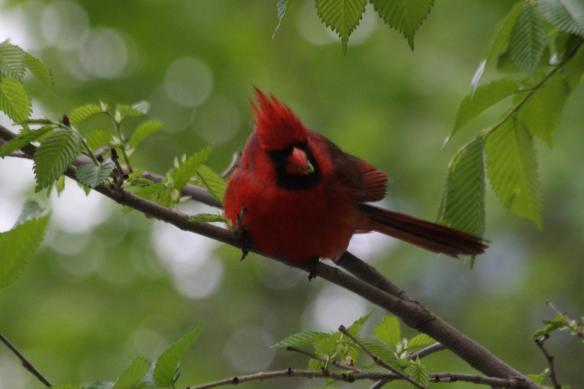 Cardinal with Worm IMG_6725_1
