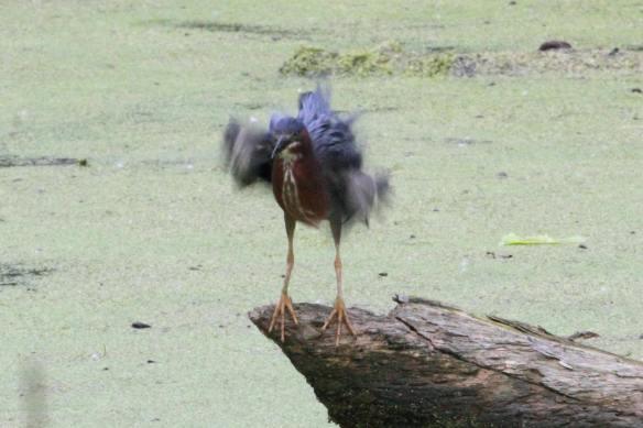 Green Heron Stretch IMG_2939_1
