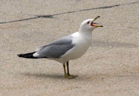 RB Gull IMG_8322_1