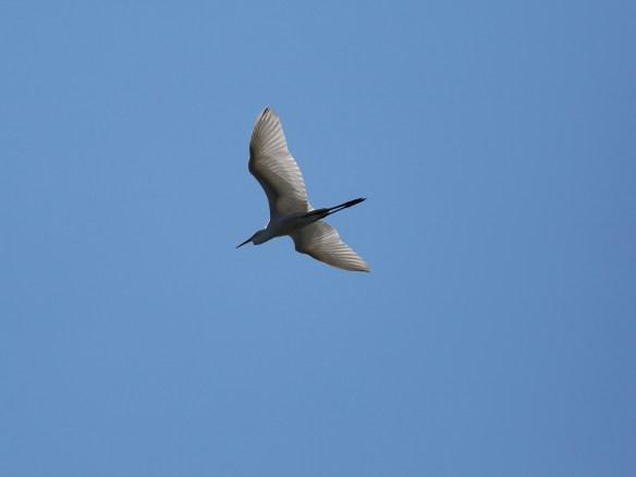 Great Egret 1I2A1514