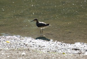 Spotted Sandpiper 1I2A0926