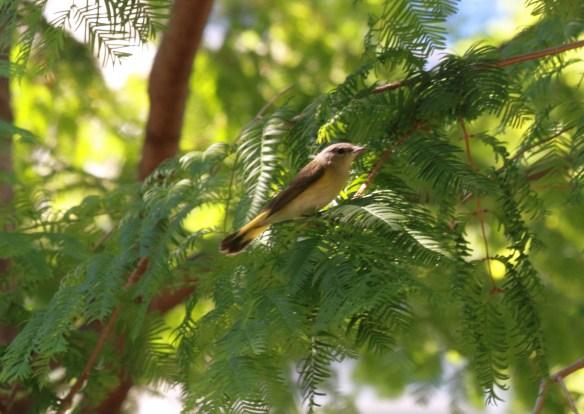 Female American Redstart, Lake Shore East