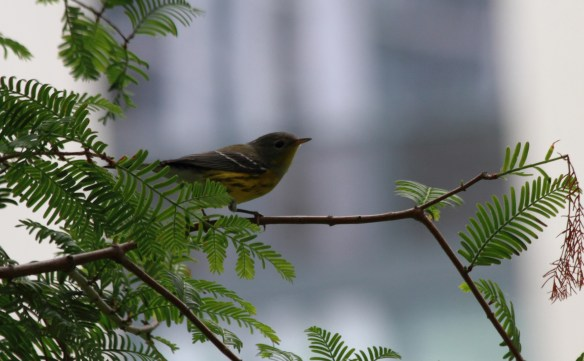 Magnolia Warbler, Lake Shore East Park