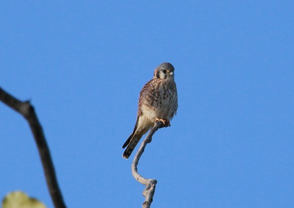 American Kestrel, Miller Meadow