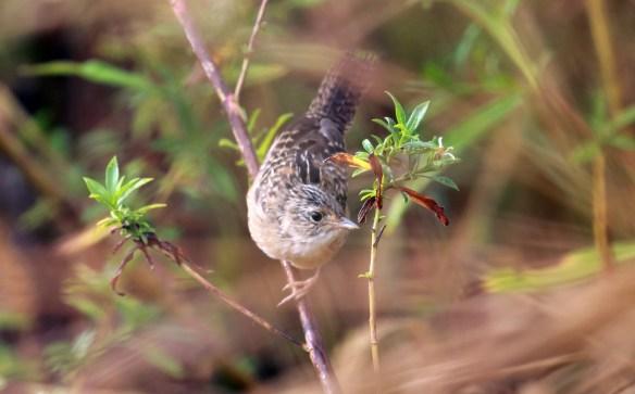 Juvenile Sedge Wren, Springbrook Prairie