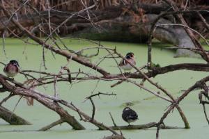 Wood Ducks IMG_8162_1