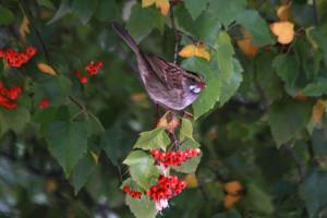 WT Sparrow with Berries IMG_0098_1