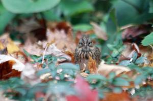 Lincoln's Sparrow IMG_1128_1