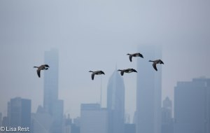Canada Geese against the Chicago Skyline