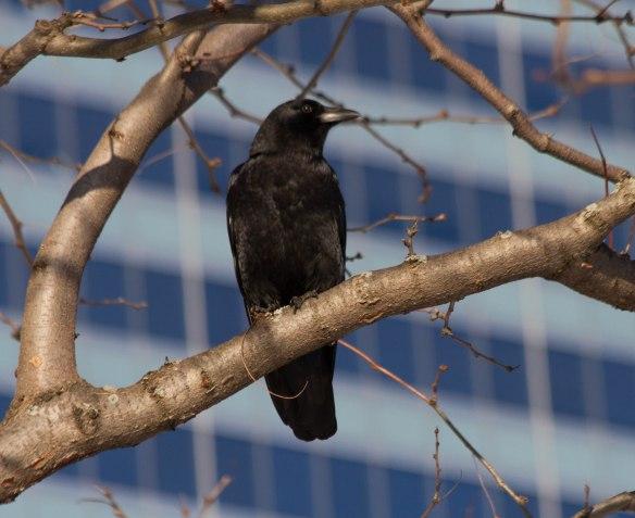 Millennium Park Crow