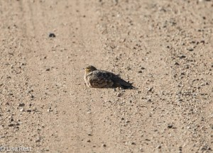Chestnut-Bellied Sandgrouse 11-23-13 7527.jpg-2