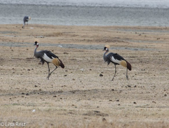 Grey-Crowned Cranes 11-22-13 6338.jpg-2
