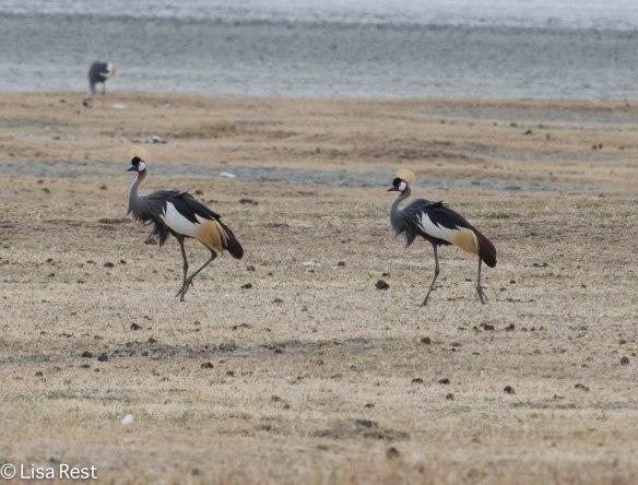 Grey-Crowned Cranes 11-22-13 6338.jpg-2