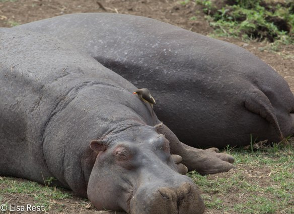Hippo and Yellow-Billed Oxpecker