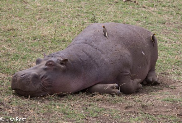 Hippo and Yellow-Billed Oxpeckers 11-21-13 5800.jpg-2