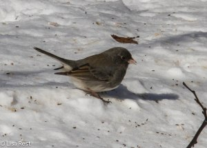 Junco at Home 1-25-14 3423.jpg-3423