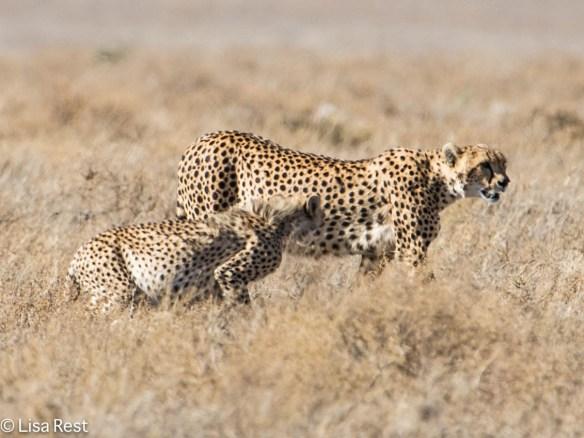 Cheetah 1-24-13 8840.jpg-2