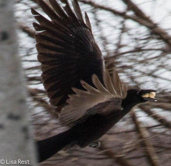 Crow Millennium 2-18-14 5794.jpg-5794