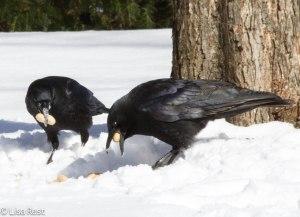 Peanut Crows 3-3-14 6527.jpg-6527