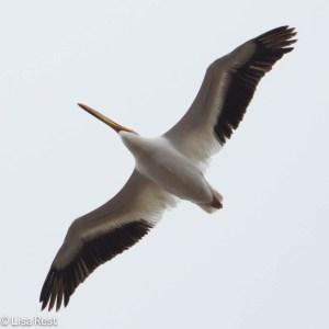 American White Pelican 4-6-14