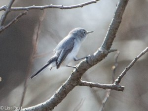 Blue-Gray Gnatcactcher, Portage