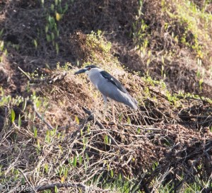Black-Crowned Night Heron 3-12-14 4502.jpg-4502