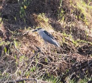 Black-Crowned Night Heron 3-12-14 4502.jpg-4502