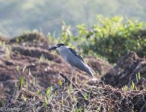 Black-Crowned Night Heron 3-12-14 4508.jpg-4508