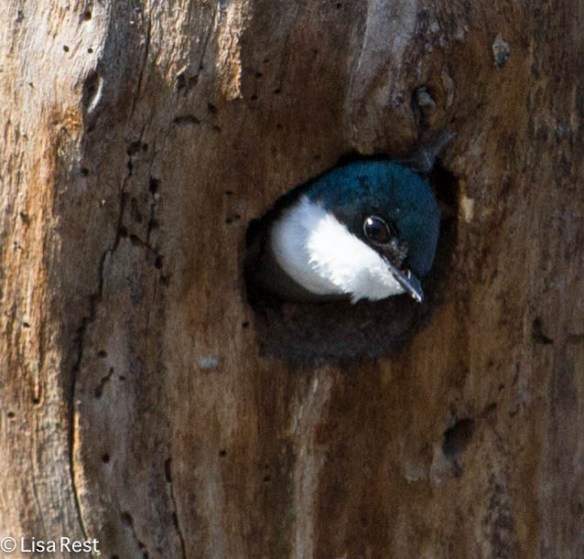 Tree Swallow Nest, Chicago Portage