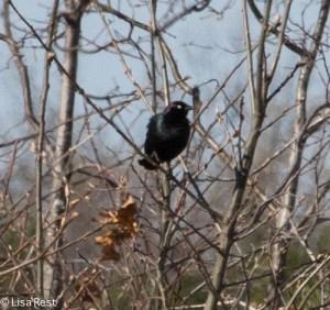 Brewer's Blackbird-2855