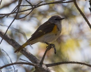 American Redstart - First Year Male