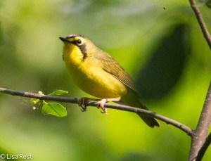 Kentucky Warbler, 6-1-14
