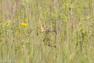 Female Bobolink 7-6-14-1171
