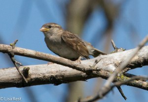 Juvenile House Sparrow waiting to be fed