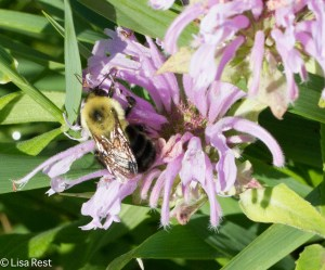 Pollen Orgy: Bee in the Bergamot