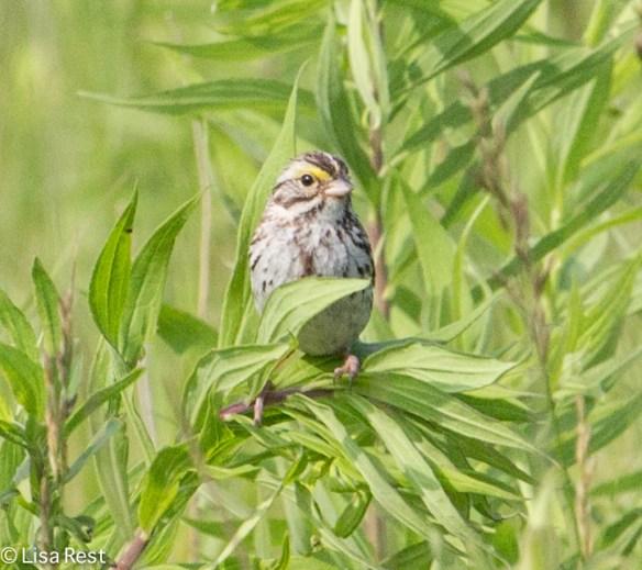 Savannah Sparrow 7-6-14-1111