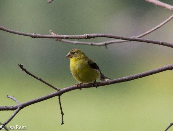 American Goldfinch, Lake Katharine