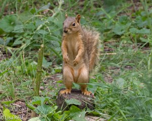 Female Fox Squirrel Yard 7-26-14-3268
