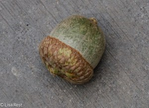 Acorn on the steps to LSE Park 9-5-14-5293