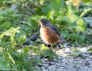 American Robin, Portage