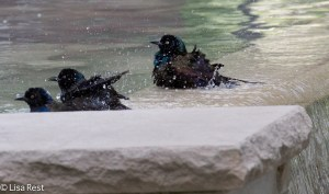 Bathing Grackles LSE Park 9-3-14-5162