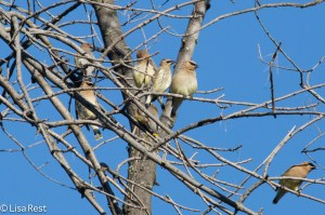 Cedar Waxwing Tree, Chicago Portage