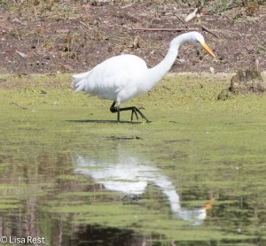 Great Egret, Chicago Portage