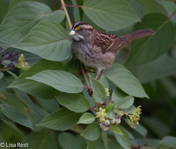 White-Throated Sparrow, Lake Shore East Park